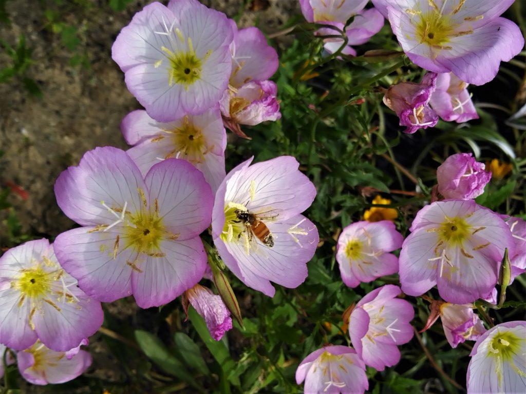 パークロードの花5月2